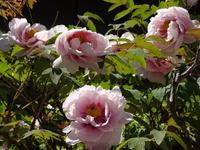 令和元年に咲く満開の牡丹 - 漆器もある生活