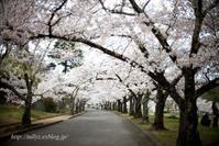 松本の桜(5) - Tullyz bis /R-D1ときどきM
