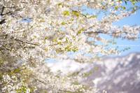 野沢温泉村山ノ神さまの桜 - 野沢温泉とその周辺いろいろ2