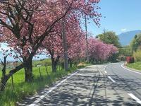八重桜満開♪ - 風路のこぶちさわ日記