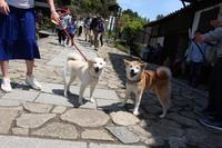 和な柴犬④ - オーク、熟成中