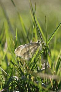 透けた翅が美しいヒメシロチョウほか - 蝶超天国