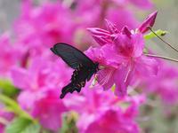 アゲハ類を求めて里山を梯子 - 蝶超天国