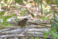 ノゴマ - ごっちの鳥日記