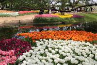 昭和記念公園チューリップ満開♪3 - Let's Enjoy Everyday!