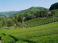 茶摘み - Blue Planet Cafe  青い地球を散歩する