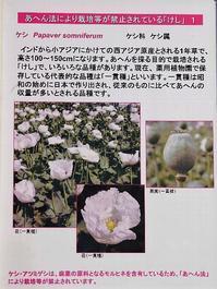 植えてはいけないケシの花☆薬草園 - さんじゃらっと☆blog2