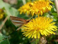 最近撮影した蝶たち - 風任せ自由人