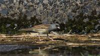 修行の旅?南の小島遠征報告その6:これも二度目のシベリアアオジ - Life with Birds 3