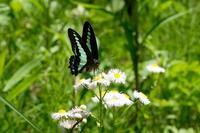 ■アオスジアゲハ ほか19.5.9(アオスジアゲハ、ナガサキアゲハ、ジャコウアゲハ) - 舞岡公園の自然2