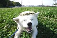 春の健康診断 - 秋田犬「大和と飛鳥丸」の日々Ⅱ