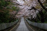 桜2019!~向日神社~ - Prado Photography!