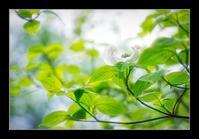 白い花水木 - Desire