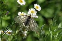 ウスバシロチョウ裏高尾を散策(続) - 蝶のいる風景blog