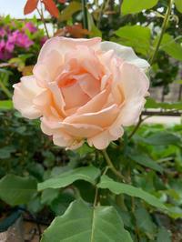庭の薔薇 [2019/05/09] - 春&ナナと庭の薔薇