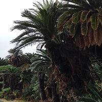 3日目午前~蘇鉄ジャングル~ - プリプエママのHAPPYな一日