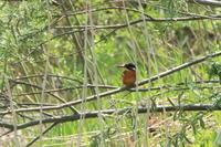 カワセミの季節がやってきた - 今日の鳥さんⅡ
