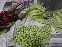 二回目のビーツとグリンピースの収穫 - ミモザアカシアの日々