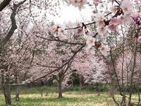 山桜も満開❤︎  〜京極町 ふきだし公園〜 - 笑う門には福来たる