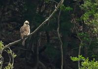 クマタカ - 今日も鳥撮り