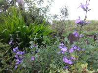 チェリーセージ・パープル - だんご虫の花