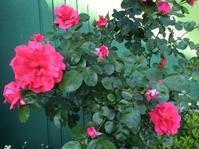 薔薇とオルレアと桑の実そしてライアーと - 花の自由旋律