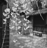 ヒカリトカゲと枝垂れ桜と透明人間と - Film&Gasoline