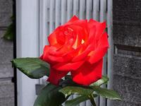 みっつ目のバラの開花 - しらこばとWeblog
