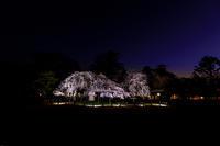 桜咲く京都2019御所桜輝く(上賀茂神社) - 花景色-K.W.C. PhotoBlog