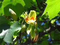 ユリノキが咲きました... - 花追い日記