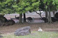 エミューの行進 - 動物園へ行こう