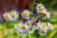 90マクロで撮ったアゲハ - あだっちゃんの花鳥風月