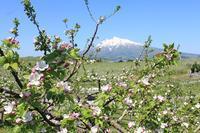 弘前りんご花まつり_2019.05.10 - 弘前感交劇場