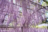 三大神社の藤 - 「古都」大津 湖国から
