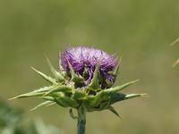 『マリアアザミやサワフタギと薬草園の花達~』 - 自然風の自然風だより