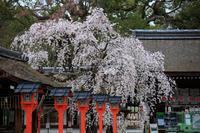桜2019!~平野神社~ - Prado Photography!