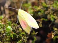 ベニモンアオリンガ? Earias roseifera - 写ればおっけー。コンデジで虫写真