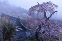 霧中に佇む一本桜 - katsuのヘタッピ風景