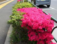 5月の街の花 - のんびり街さんぽ