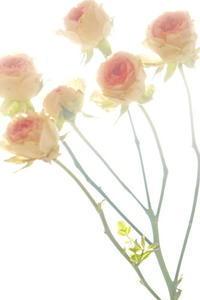 不思議なくらい持つ薔薇の切り花から芽が出てきた! - KAHO's Photo Diary 2