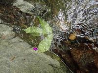 ウラキン幼虫の災難 - 秩父の蝶