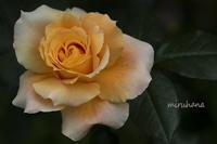 薔薇「万葉」三昧*旧古河庭園 - MIRU'S PHOTO
