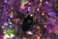 花よりクマバチ(2)・・・魚眼でマクロ!最接近を試みたが・・・ - 『私のデジタル写真眼』
