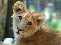 ゴールデンウイークの子ライオン - 動物園放浪記