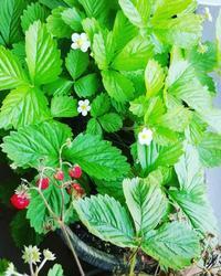 苺のほったらかし栽培 - 好食好日