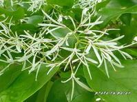 公園各所でヒトツバタゴ(ナンジャモンジャ)の花が開いています。 - デジカメ散歩悠々