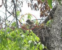 ツミの巣、抱卵確認!・アオゲラの巣穴・オナガ・・・八王子/日野 - 浅川野鳥散歩