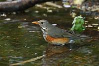 カラアカハラ(Grey-backed Thrush)/2019.05 - Birding  in  Japan!