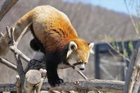 まったりじいじの昼下がり - レッサーパンダ☆もふてく放浪記