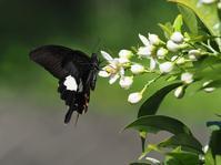 地元のミカン畑に通う - 蝶超天国